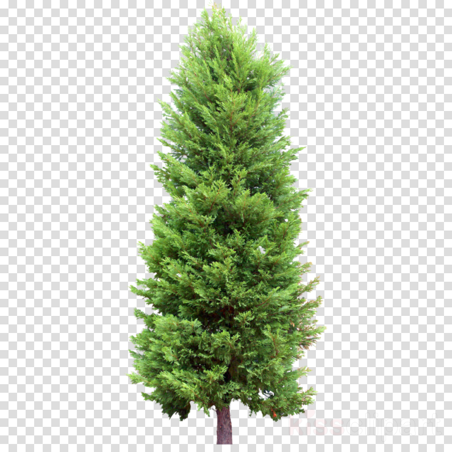 Norway Spruce, Pine, Tree, transparent png image & clipart.