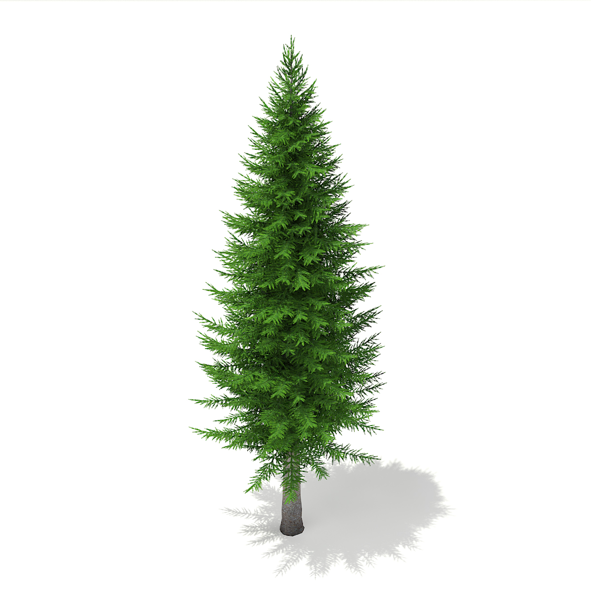 Norway Spruce (Picea abies) 11.3m.