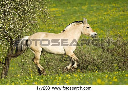 Stock Photo of Norwegian Fjord Horse. Mare galloping on a.