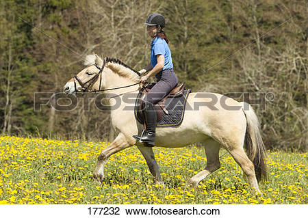 Stock Photo of Norwegian Fjord Horse. Mare with rider trotting on.