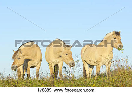 Stock Photograph of Norwegian Fjord Horse. Three horses on a.