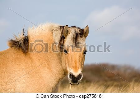 Stock Photography of Norwegian Fjord Horse.
