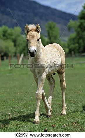 Picture of Norwegian Fjord horse.
