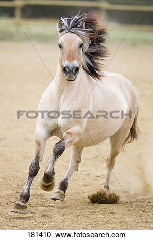 Stock Photography of Norwegian Fjord Horse galloping in a paddock.