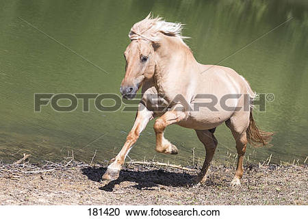 Stock Photography of Norwegian Fjord Horse galloping next to a.