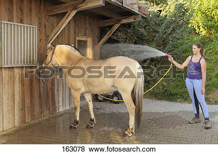 Pictures of girl cleaning Norwegian Fjord horse with water 163078.