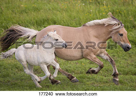 Stock Photography of Norwegian Fjord Horse. Mare and foal.