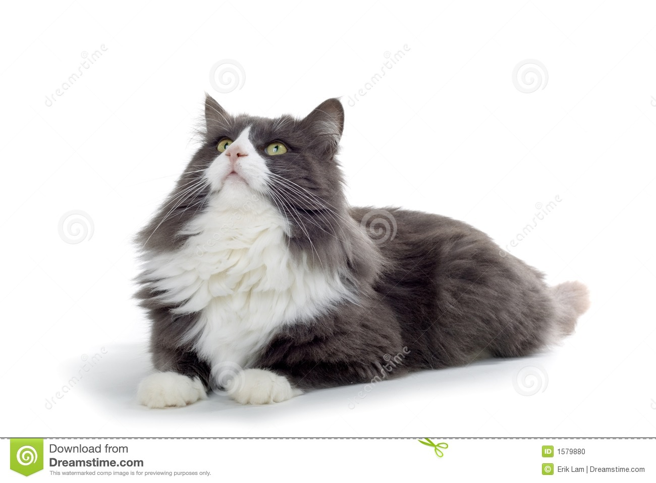 Gray And White Cat Clipart.
