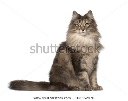 Norwegian Forest Cat Stock Images, Royalty.