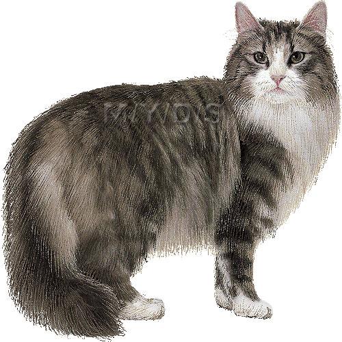 Norwegian Forest Cat, Norsk skogkatt clipart graphics (Free clip art.