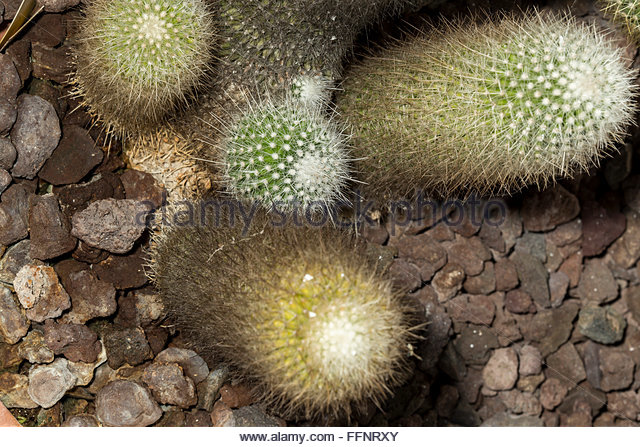 Lemon Ball Cactus Stock Photos & Lemon Ball Cactus Stock Images.