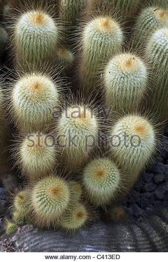 Lemon Ball Cactus Stock Photos & Lemon Ball Cactus Stock Images.