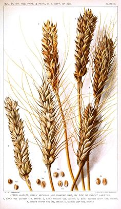 beer art, Barley and Wheat Botanical Drawing, painted using beer.