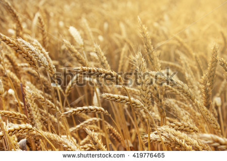 Hand Full Wheat Seeds Wheat Ears Stock Photo 107725508.