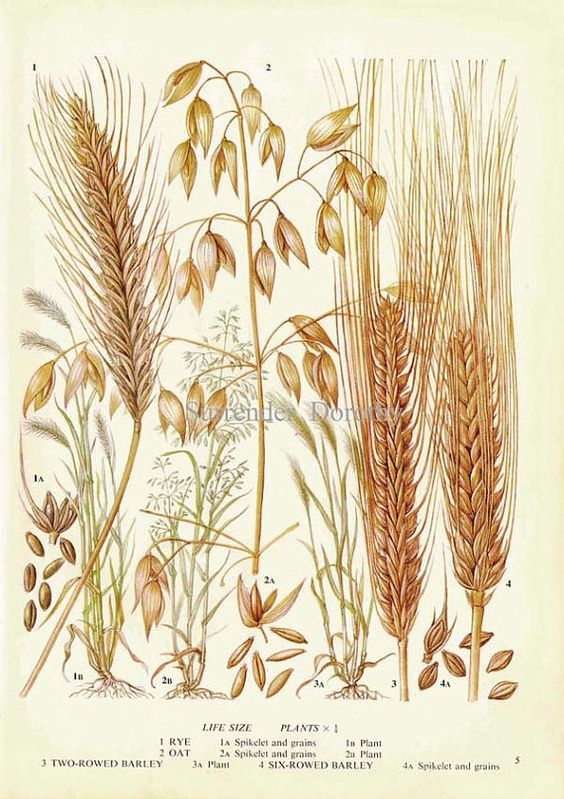 Rye Oat & Barley Cereal Grain Food Chart Botanical Lithograph.
