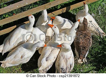 Bilder von Gänse, Bauernhof, 6, Enten, Schnabel, orange.