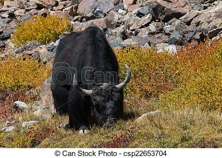 Stock Photography of Yak at Nubra Valley Leh Ladahk India.