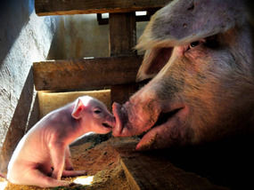 Crippled piglet nudged on by mother.