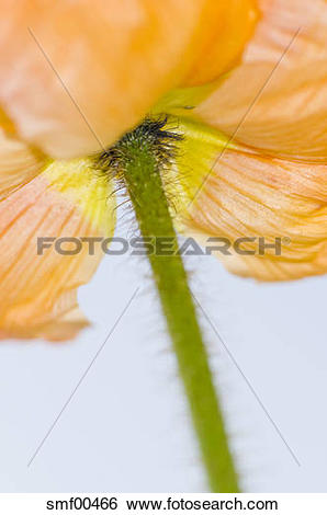 Stock Images of Iceland poppy (Papaver nudicaule), close.