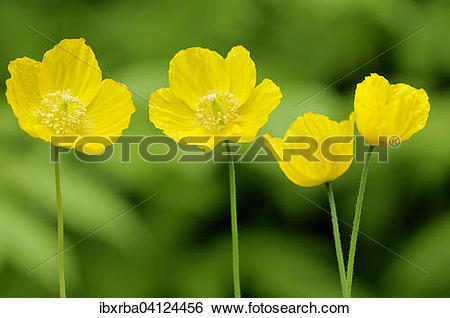 Stock Images of Yellow Iceland Poppy (Papaver nudicaule), North.