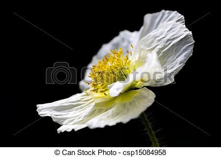 Stock Images of White Iceland poppy (Papaver nudicaule).