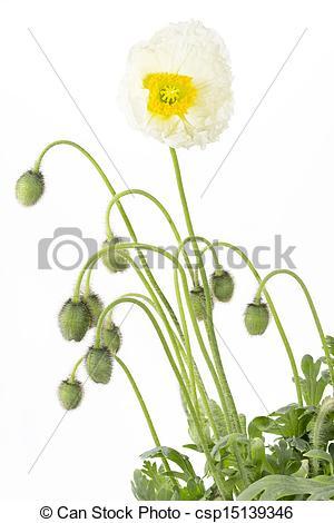 Stock Photo of White Iceland poppy (Papaver nudicaule) on white.