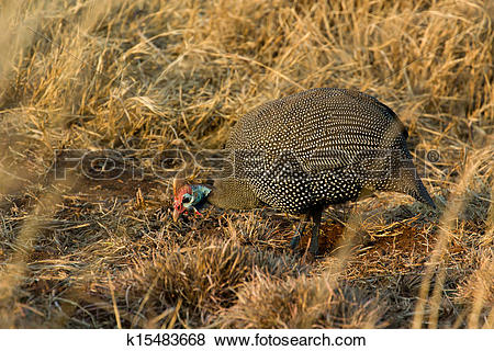 Pictures of Helmeted Guineafowl.