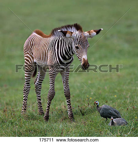 Stock Photography of Grevys Zebra (Equus grevyi). Foal looking at.