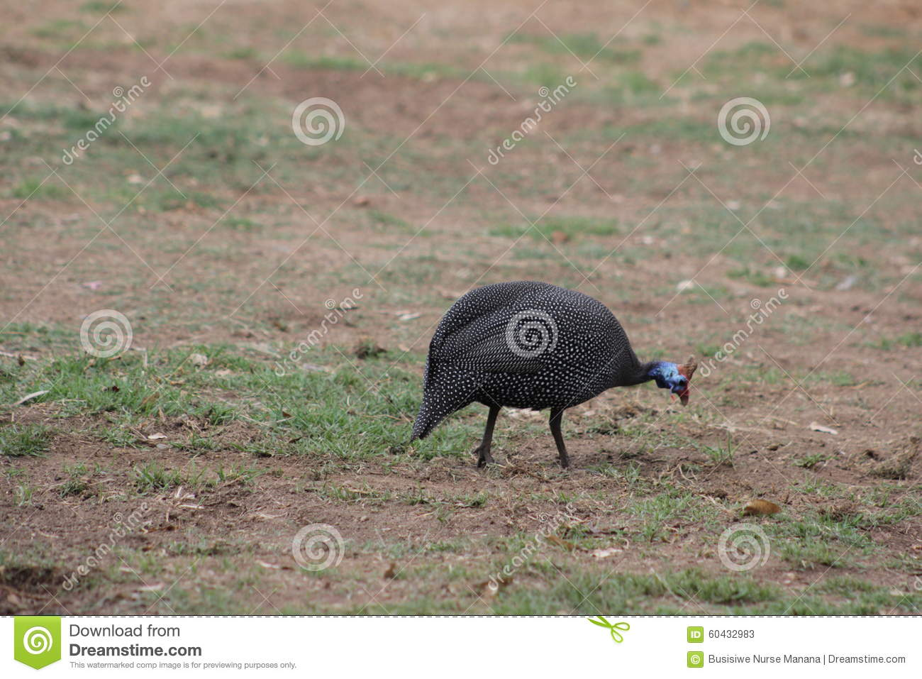 Perlhuhn, Guinea Fowl Stock Photo.