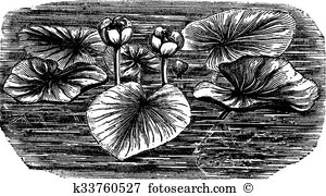 Nuphar Clipart and Illustration. 2 nuphar clip art vector EPS.