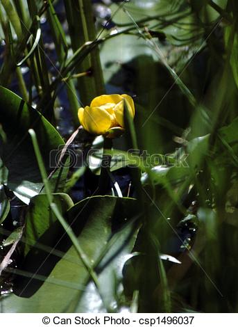 Picture of Lily, Pond Yellow (Nuphar variegatum) H.