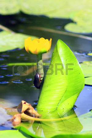 Nuphar Stock Photos & Pictures. 382 Royalty Free Nuphar Images And.