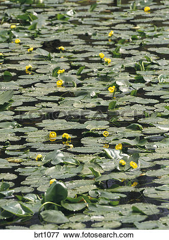 Picture of Yellow pond lilies (Nuphar lutea) floating in a small.