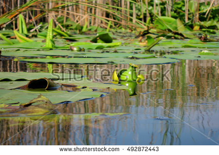 "nuphar_lutea"" Stock Photos, Royalty."