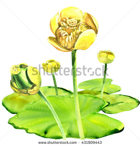 Nuphar Stock Photos, Royalty.