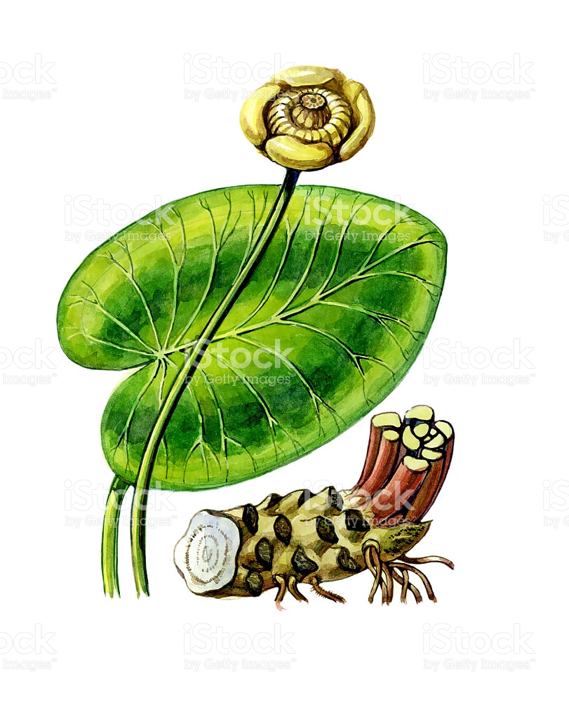 Fruits And Leaves Of Nuphar Lutea Botany stock vector art.