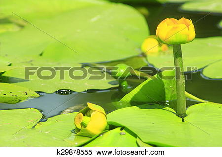 Stock Image of yellow flower of Nuphar lutea k29878555.