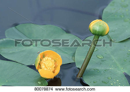 Stock Photo of DEU, 2002: Yellow Pond Lily, Yellow Water Lily.