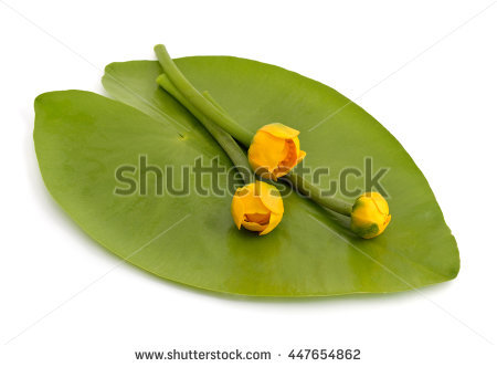 Vector Images, Illustrations and Cliparts: Nuphar lutea, Yellow.