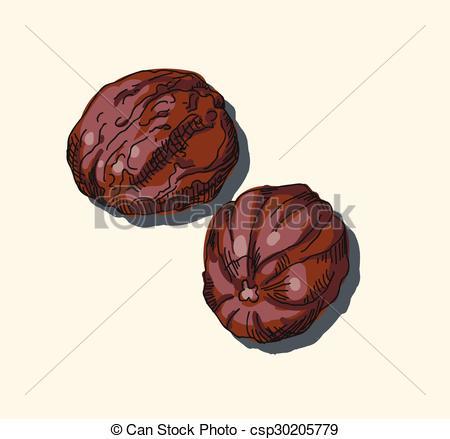 Vectors Illustration of Nutmeg. Vector. csp30205779.
