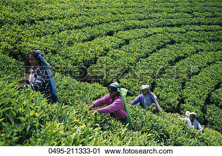 Stock Photography of Sri Lanka, Nuwara Eliya, Tea Fields, Tea.