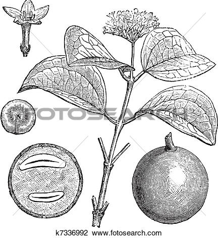 Clipart of Strychnine Tree or Strychnos nux.