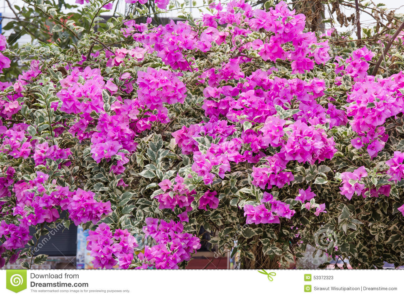 Pink Bougainvillea Flowers,Family Nyctaginaceae Stock Photo.