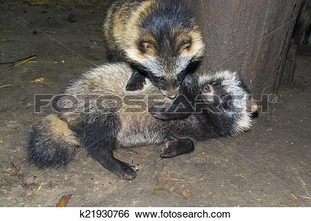 Stock Images of Raccoon dog (Nyctereutes procyonoides) k21930766.