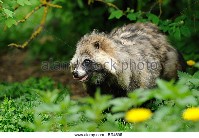 Image Raccoon Dog Stock Photos & Image Raccoon Dog Stock Images.