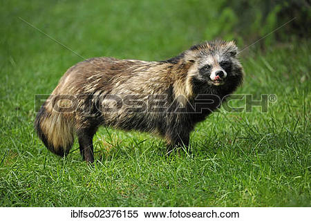 "Stock Image of ""Raccoon Dog, Magnut or Tanuki (Nyctereutes."