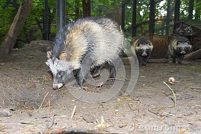 Raccoon Dog (Nyctereutes Procyonoides) Stock Photo.