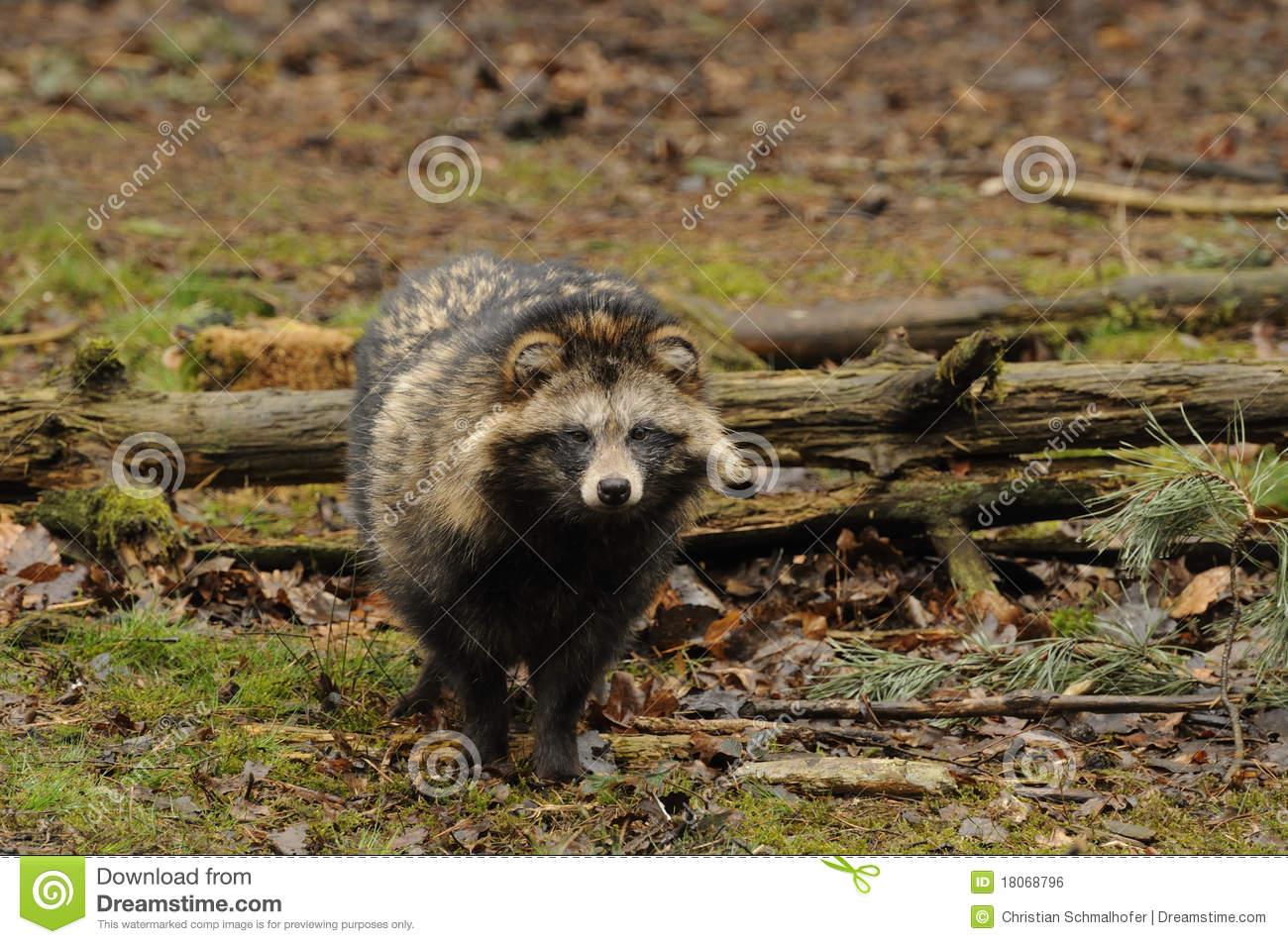 Raccoon Dog (Nyctereutes Procyonoides) Royalty Free Stock Image.