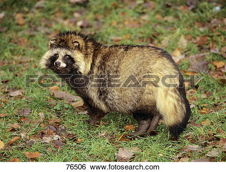 Stock Images of raccoon dog.