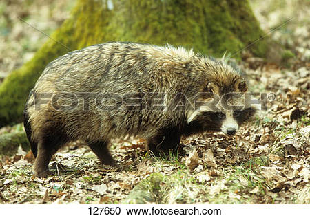 Stock Photography of raccoon dog.